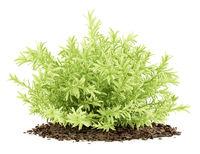 thin leaves sedum plant isolated on white background. 3d illustration