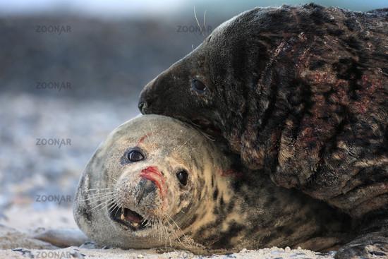 Grey seals mating
