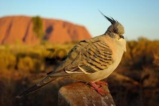 Spitzschopftaube vorm Ayers Rock / Crested Pigeon