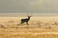 fallow deer stag on meadow in orange morning light ( Dama )