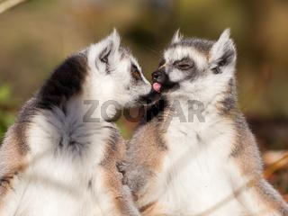 Ring-tailed lemur (Lemur catta), couple