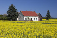 farmhouse in the field of rapeseed