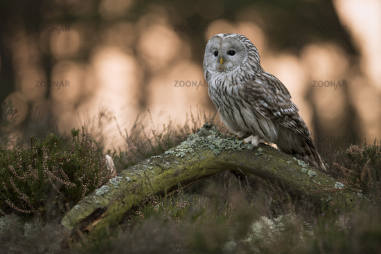 early in the morning... Ural Owl *Strix uralensis*