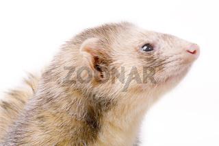 Frettchen (Raubmarder) (Iltis) - Mustela putorius