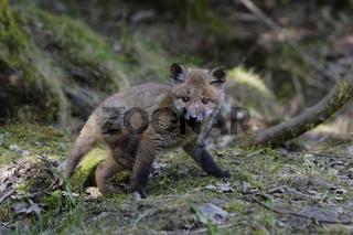 Rotfuchs, Vulpes vulpes, red fox