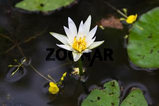 White lotus in water