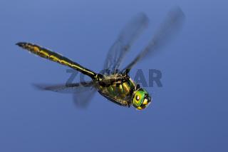 Fliegende Gemeine Smaragdlibelle, Cordulia aenea, Deutschland