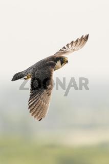 hoch oben... Wanderfalke *Falco peregrinus*
