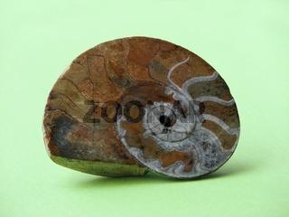 Ammonit-   ammonite