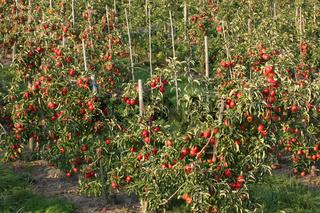 Apfelplantage im Alten Land bei Hamburg