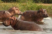 Bathing Hippos