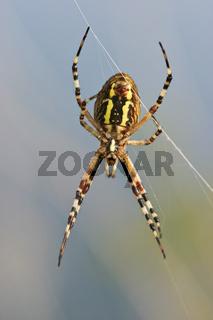 Wespenspinne, Zebraspinne, Tigerspinne, Seidenbandspinne (Argiope bruennichi), Wasp spider, Argiope bruennichi