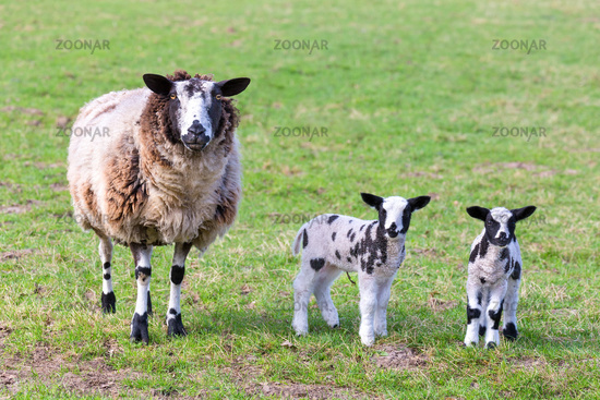 Mother sheep with two newborn lambs in spring