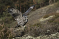 flapping its wings... Great Grey Owl *Strix nebulosa*