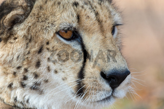 Cheetah in Etosha national Park in Namibia