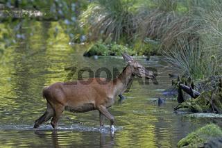 Rotwild  (Cervus elaphus) läuft durchs Wasser, Schleswig Holstein, Deutschland