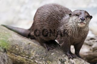 Europäischer Fischotter (Lutra lutra) - European otter (Lutra lutra)