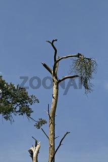 Toter Nadelbaum