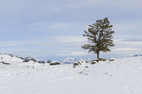 lonely tree... Yellowstone National Park *Wyoming, USA*