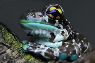 Krötenlaubfrosch