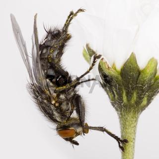 Graue Fleischfliege auf einem Gänseblümchen - Flesh Fly on a  daisy