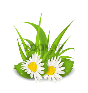 Camomile flowers with grass on white background