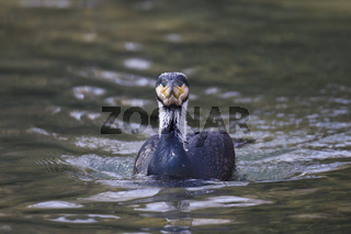Kormoran, Phalacrocorax carbo, great cormorant