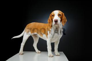 beautiful beagle dog