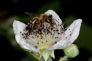 Honigbiene auf Hundsrosen-Blüte