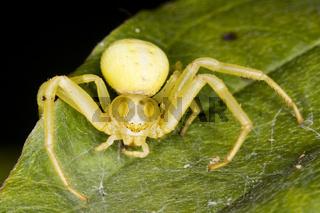 Veränderliche Krabbenspinne (Misumenta vatia) -  Crab spider (Misumenta vatia)