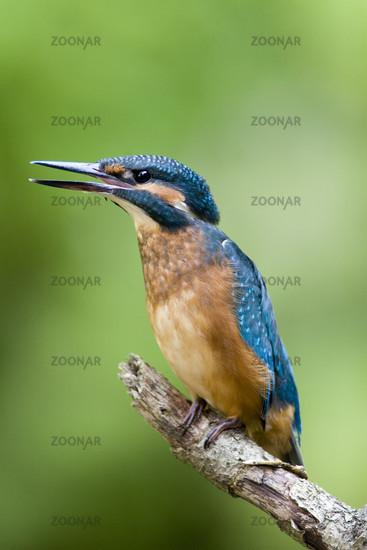 European Kingfisher, Germany