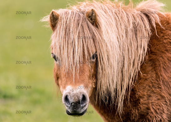 Mini Horse Looking at the Camera