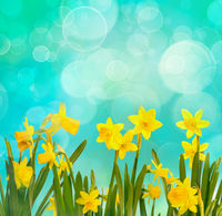 Spring background with yellow daffodils