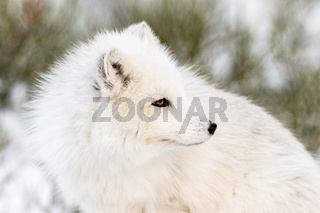Arctic fox with winter fur, looking to the right, close- up with snow and bushes in the background. Male animal.