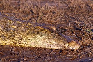Krokodil im Abendlicht am Chobe-Fluss, Botswana