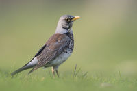 from a low point of view... Fieldfare *Turdus pilaris*