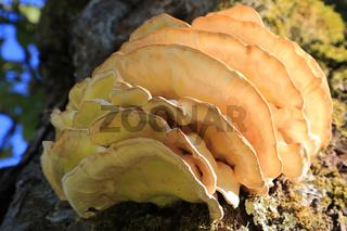Schwefelporling, sulphur polypore, Laetiporus sulphureus