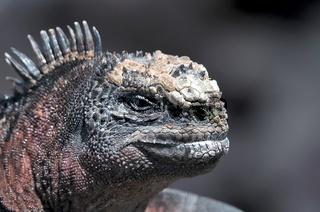 Kopf einer Galapagos Meerechse