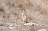 View on a ground squirrel with blurred background