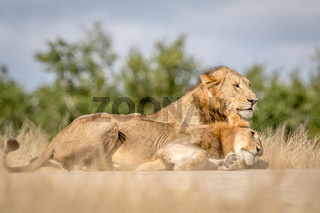 Two young male Lions bonding in Kruger.