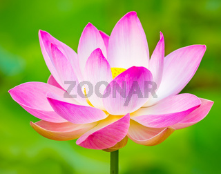 Closeup lotus flower