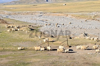 karges Leben der Schafe an der Tibetbahnstrecke
