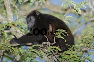 Mantled Howler Monkey, Costa Rica