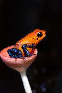 Blue jeans dart frog in Costa Rica sitting in a fungi cap