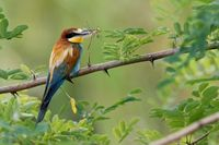 bee-eater on a branch with a dragonfly