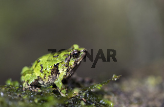 Green burrowing frog (Scaphiophryne marmorata),  Andasibe Nationalpark, Madagaskar