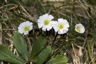 Alpenhahnenfuß (Ranunculus alpestris)