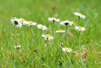 Some daisys on a meadow