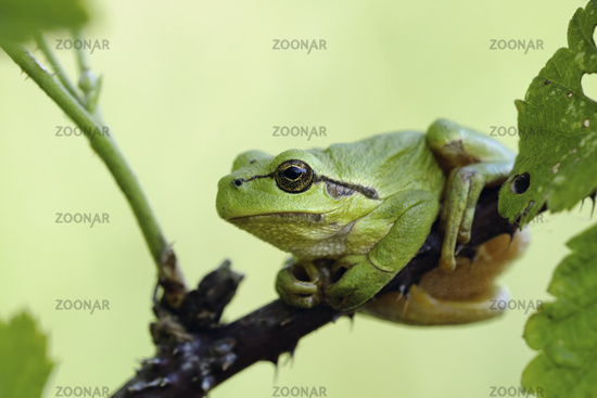 resting on blackberry tendrils... European Tree Frog *Hyla arborea*