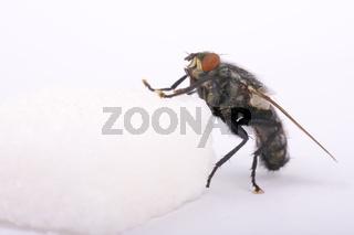 Graue Fleischfliege (Sarcophaga carnaria) auf einem Zuckerwürfel - marbled grey flesh fly (Sarcophaga carnaria)  on a  sugar cube
